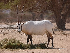Arabian oryx - White Oryx in Yotvata Hai-Bar Nature Reserve.