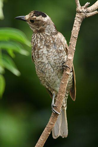 Regent bowerbird - Image: Regent Bowerbird female