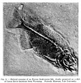 Remains of fish in limestone, Wyoming. Wellcome M0006012.jpg
