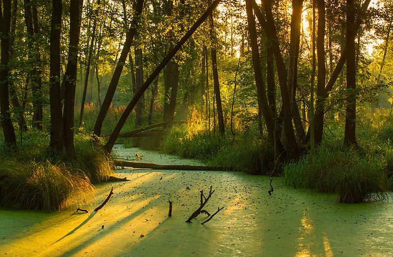 File:Rezerwat Olszyny Niezgodzkie w Parku Krajobrazowym Dolina Baryczy.jpg