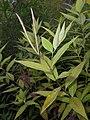 Rhazya orientalis 2017-09-26 4755.jpg