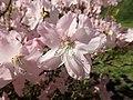 Rhododendron schlippenbachii 2019-04-20 1699.jpg