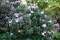 Rhododendron smirnowii - Arnold Arboretum - DSC06893.JPG