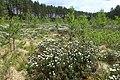 Rhododendron tomentosum kz08.jpg