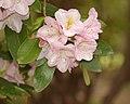 Rhododendron x 'Caroline' Flower.jpg