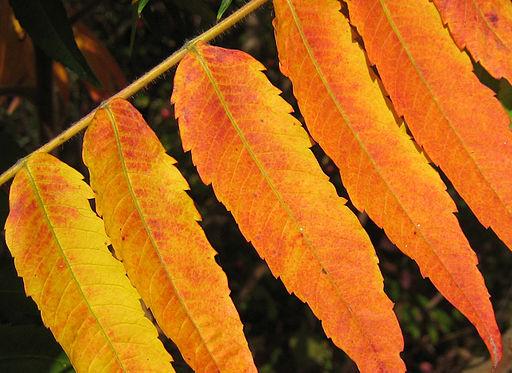 feuilles du sumac