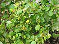 Ribes aureum (16943883272).jpg