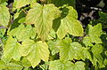 Ribes dikuscha - Botanical Garden in Kaisaniemi, Helsinki - DSC03507.JPG
