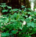 Ribes echinellum.jpg