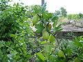 Ribes grossularia kpjas.jpg
