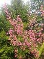 Ribes sanguineum 127348799.jpg