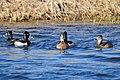 Ring-Necked Ducks on Seedskadee National Wildlife Refuge (26186563086).jpg
