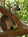 Ring-Tailed Lemur, Anja Reserve (3953826302).jpg