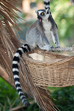 7dbd9a4806 Ring-tailed lemur vocalizations - Wikipedia