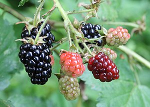 Ripening - Blackberries at various stages of ripeness: unripe (green), ripening (pink and red), and ripe (black)