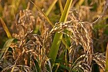 Pianta di riso allo stato di maturazione