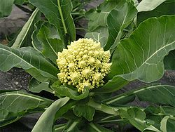Romanesco in the field.jpg