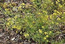 Pyren en sumpfkresse wikipedia for Jardin botanique 78