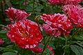 Rosa 'Arabesque' at Ishida Rose Garden in Odate, Akita, Japan.jpg
