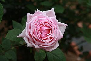 Rosa 'La France' - Image: Rosa 'La France'