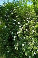 Rosa canina plant Luc Viatour.JPG
