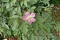 Rosa glauca kz01.jpg
