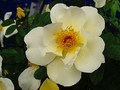Rosa pimpinellifolia hybrid parkamgleisdreieck berlin kreuzberg.png
