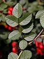 Rosa rubiginosa leaf (16).jpg