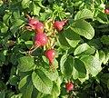 Rosa rugosa fruit (18).jpg