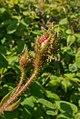 Rosa x centifolia Muscosa.jpg