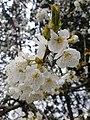 Rosales - Prunus cerasus - 15.jpg