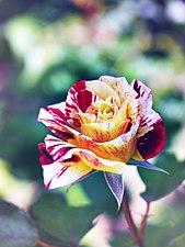 Rose, GeorgeBurns, バラ, ジョージ バーンズ, (14524935153).jpg