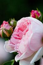 Rose, Masako (Eglantyne).jpg
