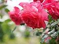Rose, Otohime, バラ, 乙姫, (15997830595).jpg