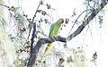 Rose-ringed Parakeet (Psittacula krameri) (25861674833).jpg
