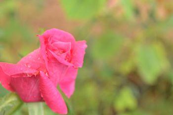 Rose Flower (Dark Pink).jpg