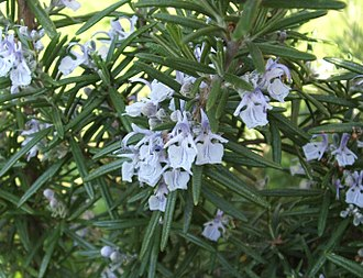 Prehistoric medicine - Image: Rosmarino fiori