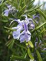 Rosmarinus officinalis 'Tuscan Blue'1.jpg