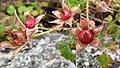 Rubus parvifolius fruit (13854808514).jpg