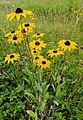 Rudbeckia hirta (rudbeckies hérissées) dans un champ.jpg
