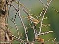 Rufous-fronted Prinia (Prinia buchanani) (25720427594).jpg