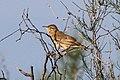 Rufous-tailed Scrub Robin (Erythropygia galactotes) (8079430412).jpg