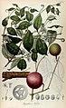 Rumphia, sive, Commentationes botanicæ¦ imprimis de plantis Indiæ¦ Orientalis (8330548474).jpg