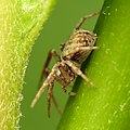 Running Crab Spider (30559739593).jpg