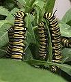 Rupsen van Monarchvlinder Danaus plexippus.jpg