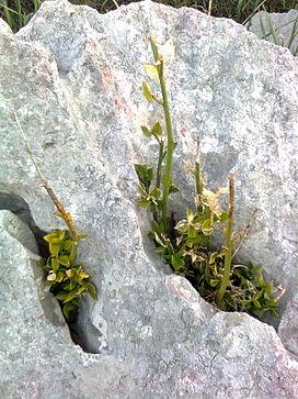Ruscus aculeatus wikipedia la enciclopedia libre for Nombre de la roca