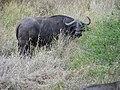 SA Kruger Büffel.jpg
