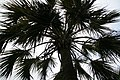 Sabal palmetto 25zz.jpg