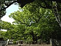 Sacred tree of Oasahiko Shrine.JPG