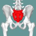 Sacrum - posterior view03.png